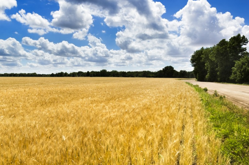 Blue Sky and Golden Kansas Wheat Field
